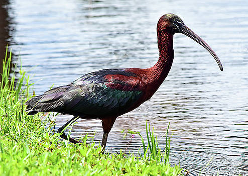 Glossy Ibis by William Tasker