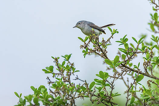 Gnatcatcher On Greenery by Debra Martz