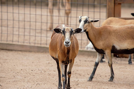 Goats That Stare by David Stasiak