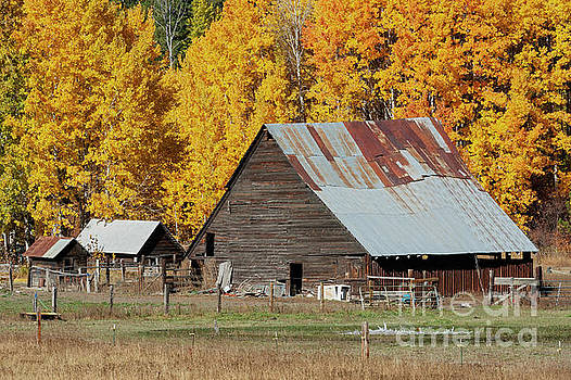 Golden Aspen Barn by Mike Dawson