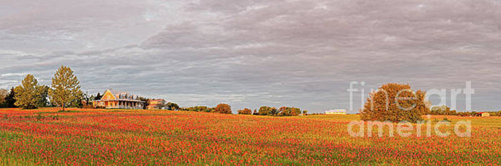Golden Hour Panorama of Field of Indian Paintbrush Wildflowers Independence Washington County Texas by Silvio Ligutti