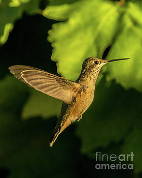 Golden Hummingbird by Stephen Whalen