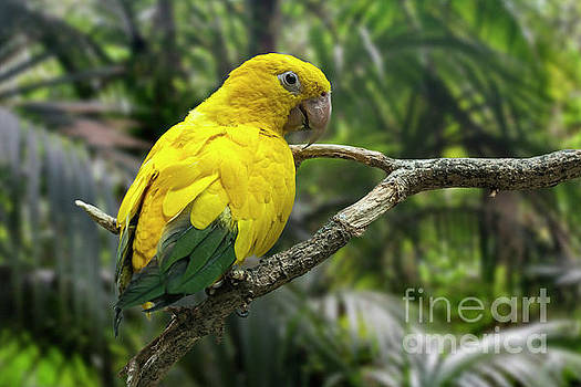 Golden Parakeet by Arterra Picture Library