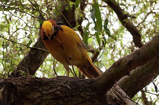 Golden Pheasant 004 by Chris Flees