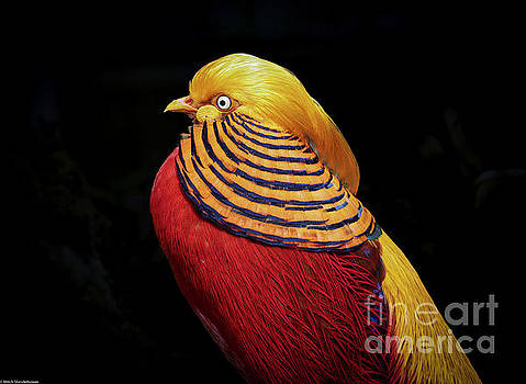 Golden Pheasant by Mitch Shindelbower