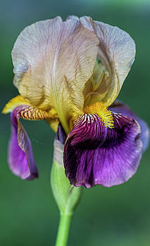 Gorgeous Old Fashioned Tall Bearded Iris by Kathy Clark