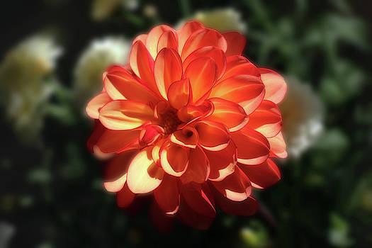 Gorgeous Orange Dahlia In The Sunlight by Johanna Hurmerinta