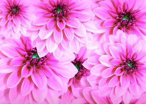 Gorgeous Pink Dahlias by Johanna Hurmerinta
