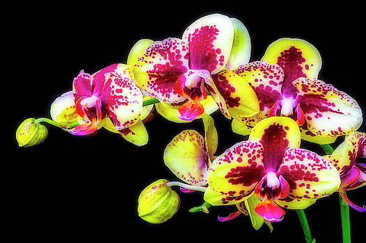 Gorgeous Yellow Red Orchids by Garry Gay