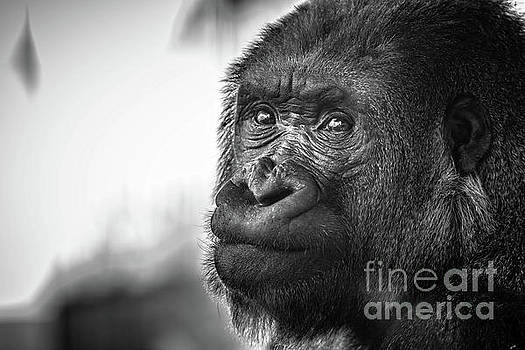 Gorilla Portrait by Edward Fielding