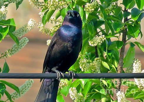 Grackle 31 by JudithAnne Monahan