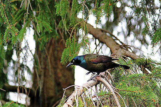 Grackle Iridescent Plumage by Debbie Oppermann