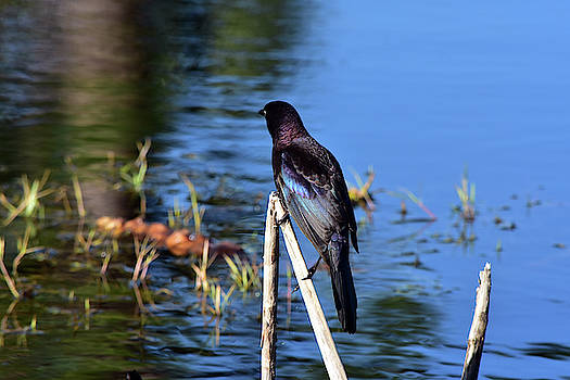 Grackle Pause by William Tasker