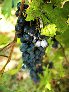 Grapes on the Vine by Rae Tucker