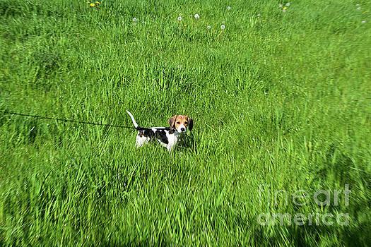 Grass Field with a Cute Beagle Puppy Dog on a Leash by DejaVu Designs