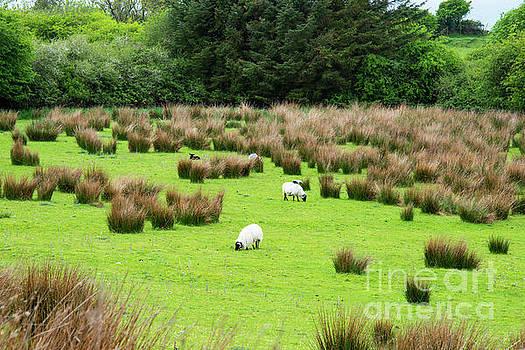 Bob Phillips - Grassland with Golden Tufts