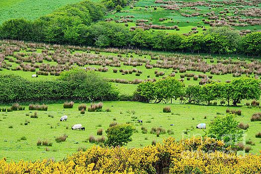 Bob Phillips - Grassland with Swaledale Sheep