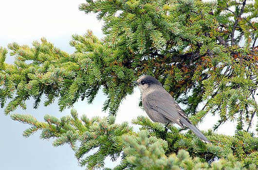 Gray Catbird in Sitka Spruce by Michelle Halsey