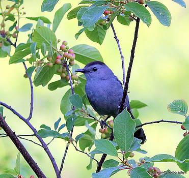 Gray Catbird by Jonathan Jackson Coe