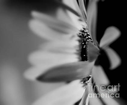 Gray Daisy by Denise Irving