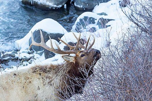 Grazing Elk by Michael Chatt