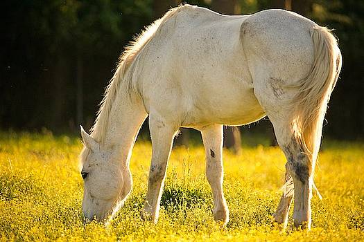 Grazing Horse at Sunset by Rachel Morrison