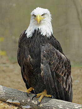 Great Bald Eagle by Michelle Halsey