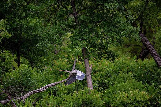 Great Blue Egret Inflight by Jeff Phillippi