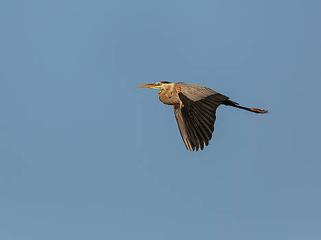 Great Blue Heron 2019-14 by Thomas Young