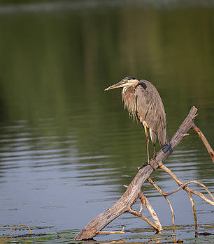 Great Blue Heron 2019-15 by Thomas Young