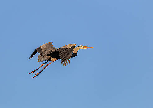 Great Blue Heron 2019-8 by Thomas Young