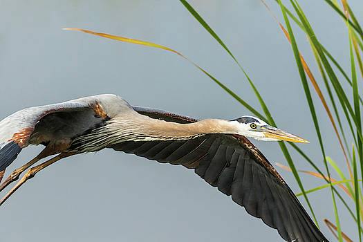 Great Blue Heron by Darrell Gregg