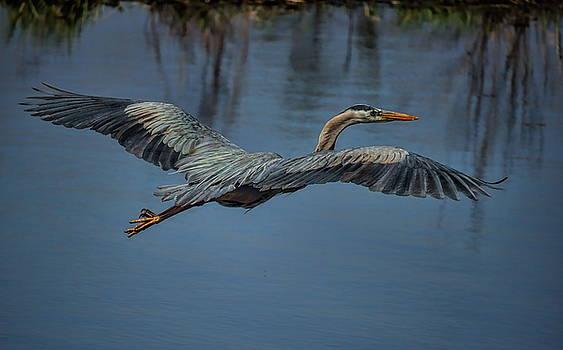 Dale Kauzlaric - Great Blue Heron Gliding