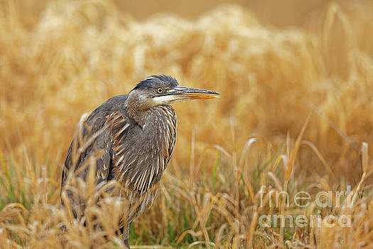 Great Blue Heron in the Grass by Natural Focal Point Photography
