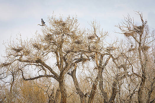 Great Blue Heron Rookery by James BO Insogna