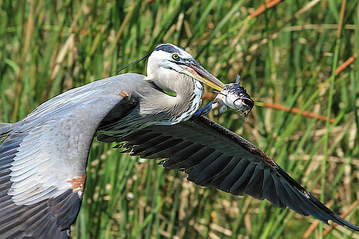 Great Blue Heron Stabs Dinner by Darrell Gregg