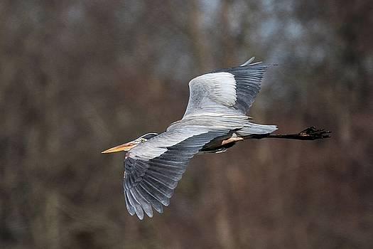 Great Blue Heron by Stacey Steinberg