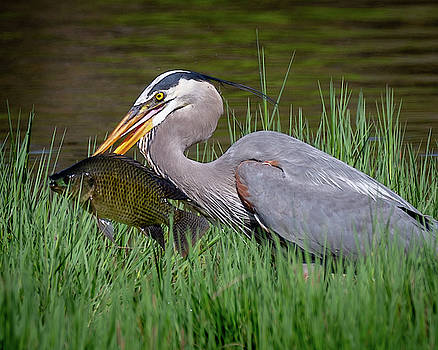 Great Blue Heron With Fish by Tim Kirchoff