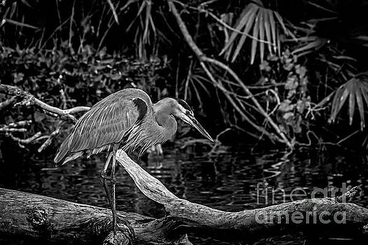 Great Blue in Black and White by Blair Howell