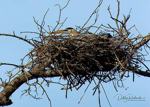 Great Blue on its nest by Debby Richards