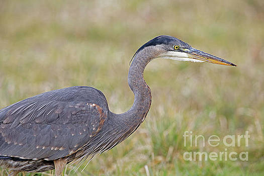 Great Blue Profile by Natural Focal Point Photography