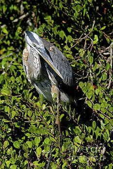 Great Blue Waiting in Florida Everglades by Natural Focal Point Photography