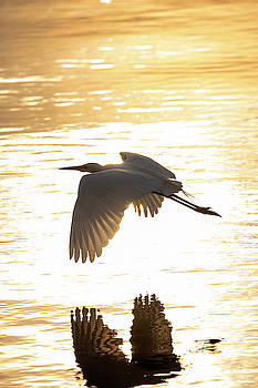 Great Egret 2 by David Stasiak