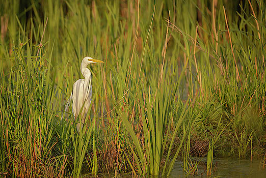Great Egret 2019-1 by Thomas Young
