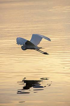 Great Egret 4 by David Stasiak