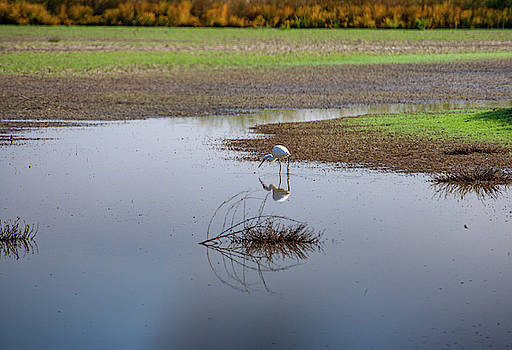 Great Egret by Anthony Jones