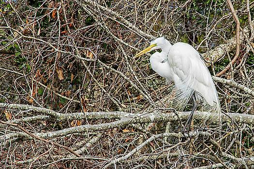 Great Egret by Bob Decker