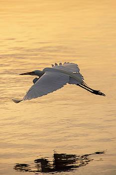 Great Egret by David Stasiak