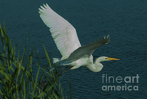Great Egret In Flight by Sharon Mayhak