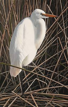 Great Egret by Peter Mathios